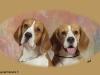 beagle-koppen